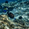 Blue_Surgeonfish_and_Sea_Urchins2_[6760-LARGE].jpg