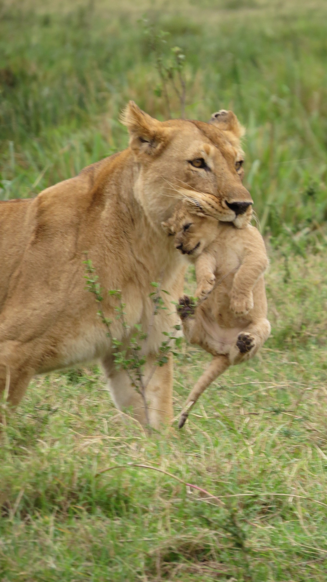 JT - Lioness with cub is Marsh Pride, taken in November 2.JPG